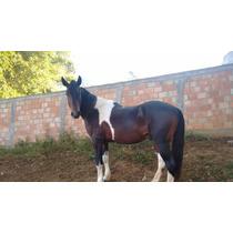 Cavalo Mangalarga Marchador Pampo Registrado