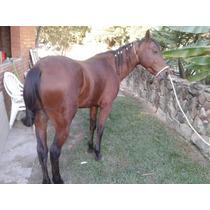 Cavalo Quarto De Milha Inteiro, Sem Registro.
