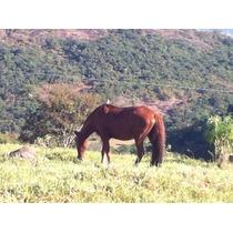 Égua Mangalarga Machador, Muito Dócil.