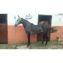 Cavalo Mangalarga Tordilho Negro Garanhão Marcha Picada