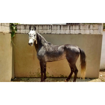 Cavalo Mangalarga Marchador Emel Picado Centro Pista