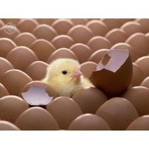 Curso Incubação Ovos De Aves Em Chocadeira + 02 Brindes