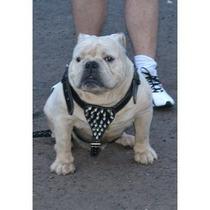 Coleira Peitoral Couro Spikes Pitbull Bulldog Ingles A.bully