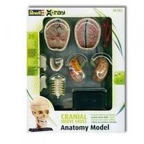 Revell X-ray Anatomia - Nerve Skull - Cranio