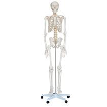 Esqueleto Humano 170cm Anatômia Humana. Com 208 Ossos.