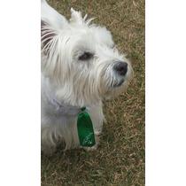 Filhote De West White Highland Terrier