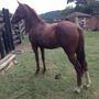 Cavalo Paulista Marcha Picada