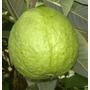 Muda Goiaba Tailandesa Gigante Clonada Deliciosa Ao Natural