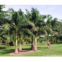 Mudas De Palmeira Imperial Altura 0,40 Á 0,50cm Altura