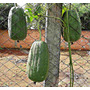 50 Sementes Bucha Vegetal - Frete Grátis
