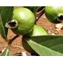 15 Sementes Araçá Rasteiro Do Campo - Frete Grátis