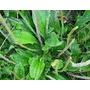 Tanchagem, Ervas Medicinais, Raizeiro, Plantas, Cura Natural