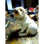 Bulldogue Ingles - Esculturas Em Resina