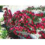 10 Sementes Rosa Trepadeira Vermelha + Frete Grátis