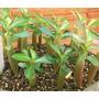 Rosa-do-deserto Adenium Obesum 10 Mudas Várias Cores