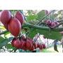 50 Sementes De Tamarillo(tomate De Árvore)frete Gratis