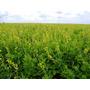 Crotalaria Spectabilis 3 Kg Sementes Leguminosa Proteína