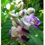 Muda De Vigna Caracola(flor Caracol)
