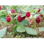 100 Sementes Morango Silvestre Hidroponia Ou Terra Horta Fg