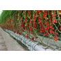 Peletizada 100 Sementes Tomate Cereja Mini Cerejinha Tino