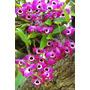 Orquídea Olho De Boneca (dendrobrium) Muda De Planta Adulta