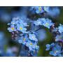 Sementes Flor Não Esqueças De Mim Myosotis Azul Frete Grátis