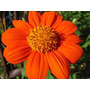 30 Sementes Da Flor Tithonia Girassol Mexicano Frete Grátis