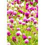 Sementes Flor Amaranthus Globular Perpétua Anã Frete Grátis