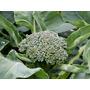 240 Sementes De Brócolis Piracicaba Frete Grátis - Ferrazmg