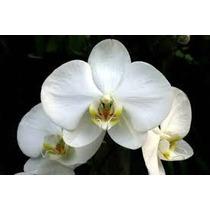 Orquídea Phalaenopsis Branca Adulta Branca