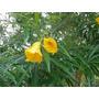 Chapéu-de-napoleão - ( Thevetia Peruviana ) ,