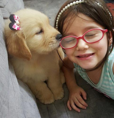 Filhotes De Golden Retriever Com Pedigree E Microchip