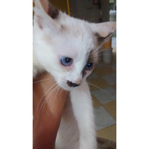 Gatinha Siamês X Angorá 2 Meses Olhos Azuis