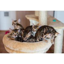 Gato Bengal - Filhotes Disponíveis - Fêmeas E Machos 12 X