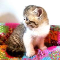 Filhotes De Gato Exótico! Lindos, Brincalhões E Carinhosos!