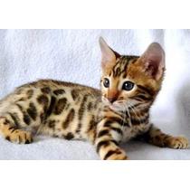 Gato Bengal - Filhotes Machos E Fêmeas