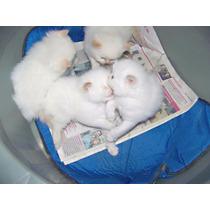 Filhotes De Gato Persa Himalaio Com 20 Dias, Olhos Azuis