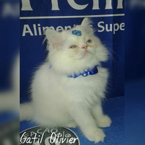 Lindos Filhotes De Gatos Persa Brancos