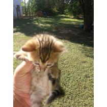 Gato Bengal - Filhotes