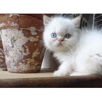 Gato Exótico Redpoint