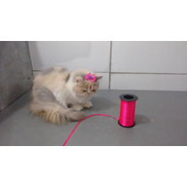 Gatos Persas Femeas