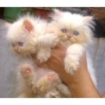 Filhote Gato Persa Himalaio Fêmea Pronta Entrega Olhos Azuis