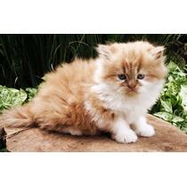 Filhotes De Gato Himalaio Para Você Amar!