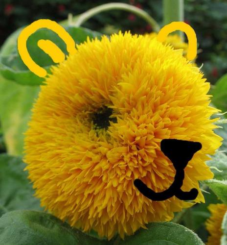 girassol anao de jardim:Girassol Teddy Bear Anão Flor Sementes P/ Mudas + Brinde – R$ 9,99 no