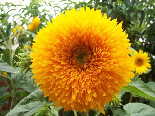 girassol anao de jardim:Girassol Urso De Pelucia Anão Flor Sementes P/ Mudas +brinde – R$ 9