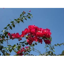 Primavera Vermelha 30cm Kit 4 Mudas