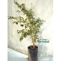 Mudas De Pitangueira Produzindo *bonsai Junior*