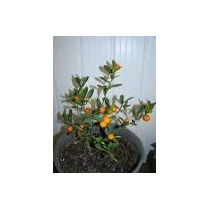 Bonsai De Laranja Kinzu, Rarissimo, C/ Frutos *bonsai Junio*
