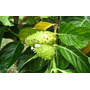 Mudas Da Fruta Noni Exclusivo ! 40 A 70cm Crescimento Rapido