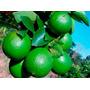 Muda De Limão Taiti Enxertada. Qualidade Bonsai Junior